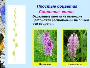 Простые соцветия Соцветие колос Отдельные цветки не имеющие цветоножек расположе