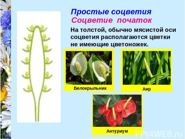 Простые соцветия Соцветие початок На толстой, обычно мясистой оси соцветия располагаются цветки не имеющие цветоножек. Белокрыльник Антуриум Аир