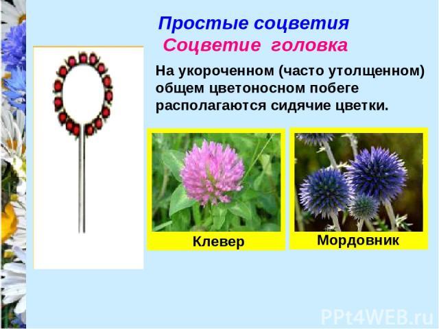 Простые соцветия Соцветие головка На укороченном (часто утолщенном) общем цветоносном побеге располагаются сидячие цветки. Клевер Мордовник