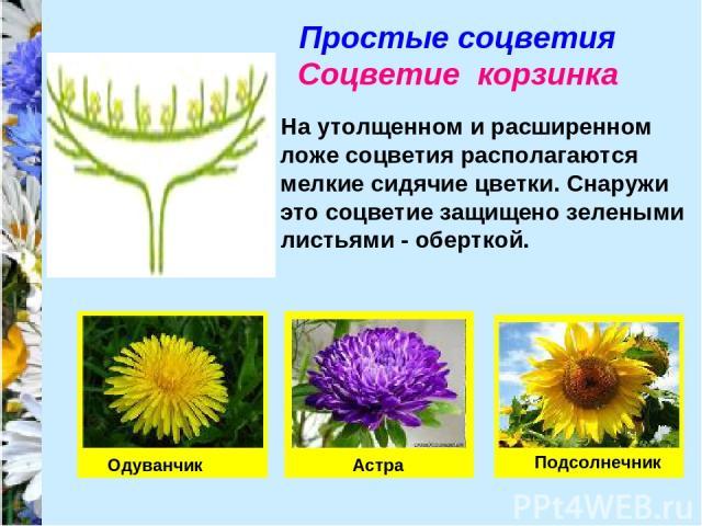 Простые соцветия Соцветие корзинка На утолщенном и расширенном ложе соцветия располагаются мелкие сидячие цветки. Снаружи это соцветие защищено зелеными листьями - оберткой. Одуванчик Астра Подсолнечник