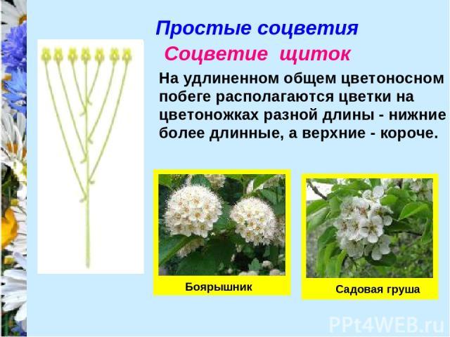Простые соцветия Соцветие щиток На удлиненном общем цветоносном побеге располагаются цветки на цветоножках разной длины - нижние более длинные, а верхние - короче. Боярышник Садовая груша