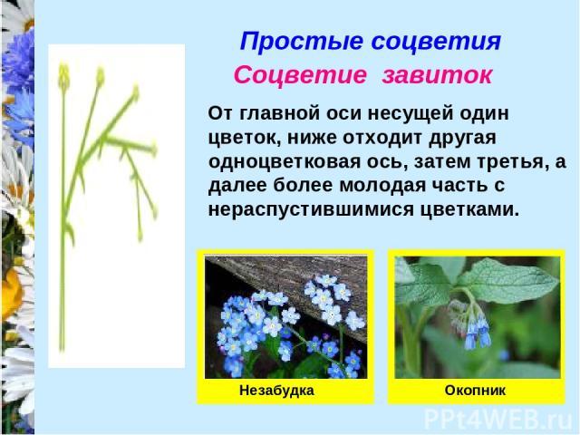Простые соцветия Соцветие завиток От главной оси несущей один цветок, ниже отходит другая одноцветковая ось, затем третья, а далее более молодая часть с нераспустившимися цветками. Незабудка Окопник