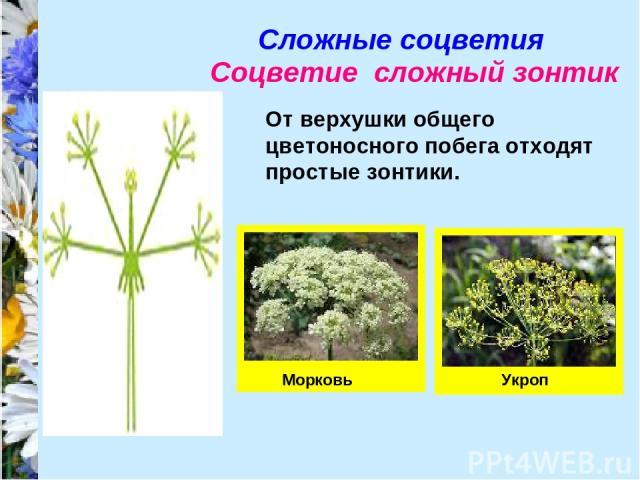 Сложные соцветия Соцветие сложный зонтик От верхушки общего цветоносного побега отходят простые зонтики. Морковь Укроп