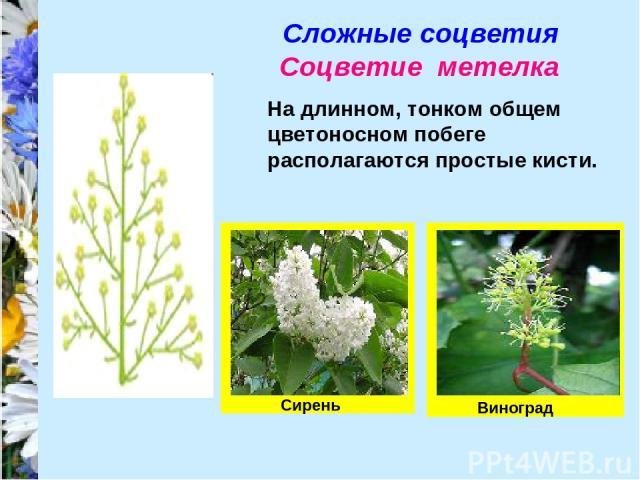 Сложные соцветия Соцветие метелка На длинном, тонком общем цветоносном побеге располагаются простые кисти. Виноград Сирень
