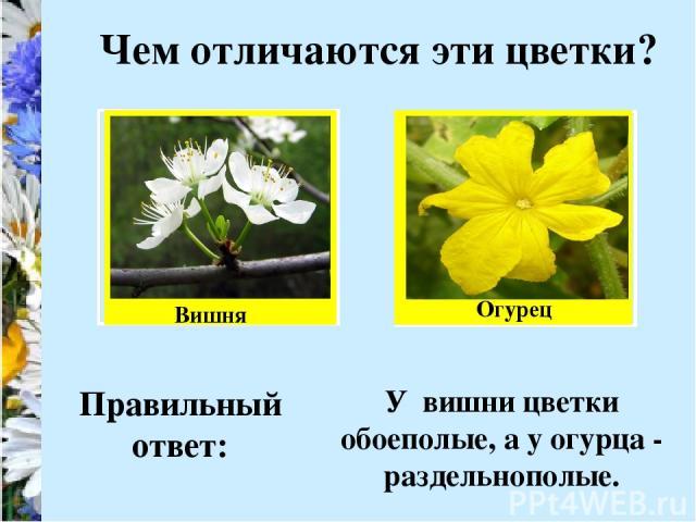 Чем отличаются эти цветки? Вишня Огурец Правильный ответ: У вишни цветки обоеполые, а у огурца - раздельнополые.