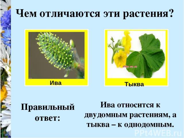 Ива Чем отличаются эти растения? Тыква Правильный ответ: Ива относится к двудомным растениям, а тыква – к однодомным.