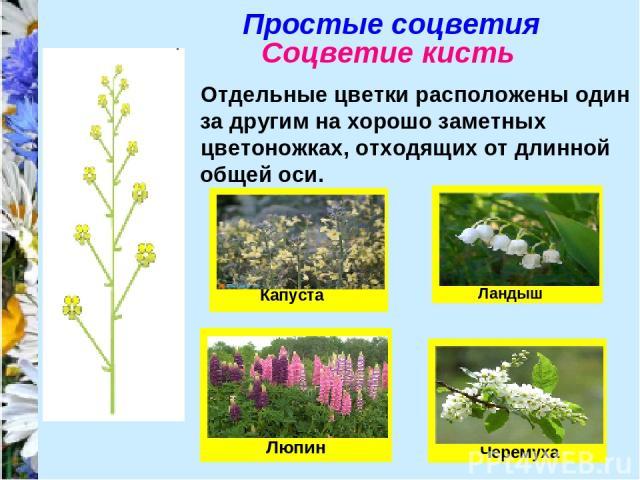 Простые соцветия Соцветие кисть Отдельные цветки расположены один за другим на хорошо заметных цветоножках, отходящих от длинной общей оси.