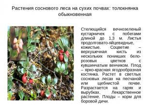 Растения соснового леса на сухих почвах: толокнянка обыкновенная Стелющийся вечн