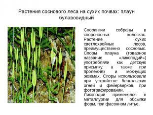 Растения соснового леса на сухих почвах: плаун булавовидный Спорангии собраны в