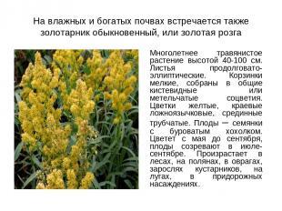 На влажных и богатых почвах встречается также золотарник обыкновенный, или золот
