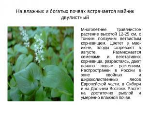 На влажных и богатых почвах встречается майник двулистный Многолетнее травянисто