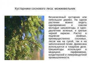 Кустарники соснового леса: можжевельник Вечнозеленый кустарник или небольшое дер