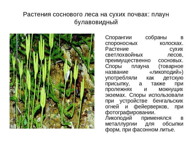 Растения соснового леса на сухих почвах: плаун булавовидный Спорангии собраны в спороносных колосках. Растение сухих светлохвойных лесов, преимущественно сосновых. Споры плауна (товарное название «ликоподий») употребляли как детскую присыпку, а такж…