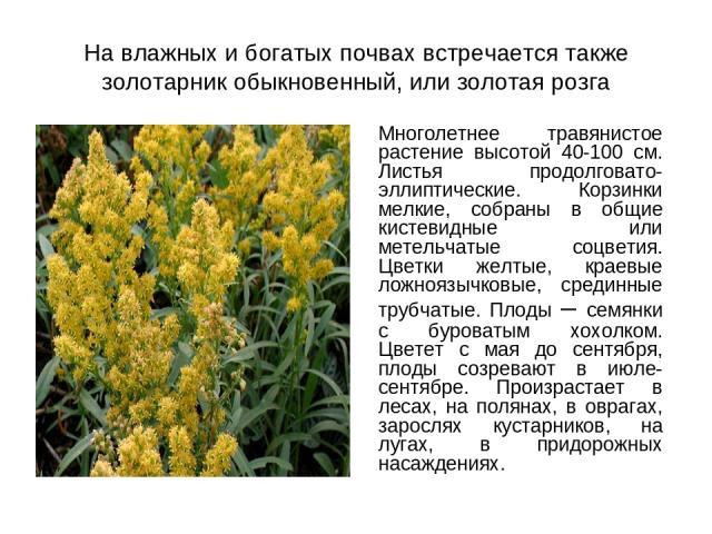 На влажных и богатых почвах встречается также золотарник обыкновенный, или золотая розга Многолетнее травянистое растение высотой 40-100 см. Листья продолговато-эллиптические. Корзинки мелкие, собраны в общие кистевидные или метельчатые соцветия. Цв…