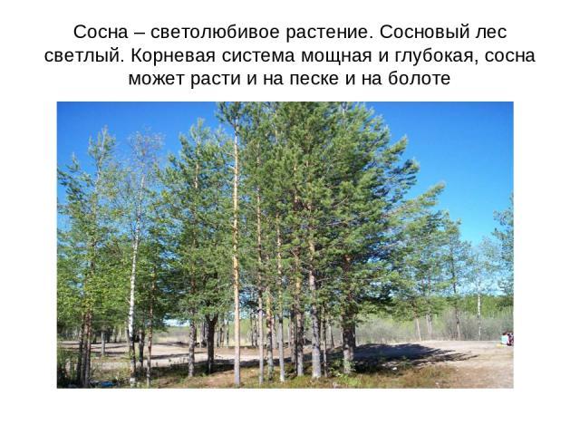 Сосна – светолюбивое растение. Сосновый лес светлый. Корневая система мощная и глубокая, сосна может расти и на песке и на болоте