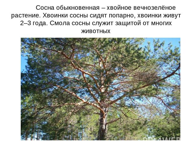 Сосна обыкновенная – хвойное вечнозелёное растение. Хвоинки сосны сидят попарно, хвоинки живут 2–3 года. Смола сосны служит защитой от многих животных
