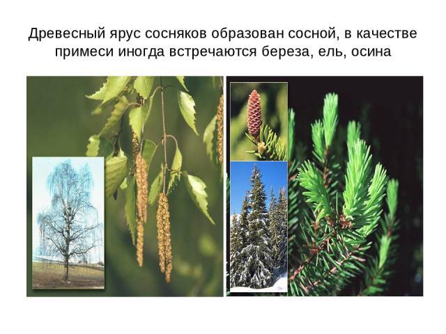 Древесный ярус сосняков образован сосной, в качестве примеси иногда встречаются береза, ель, осина