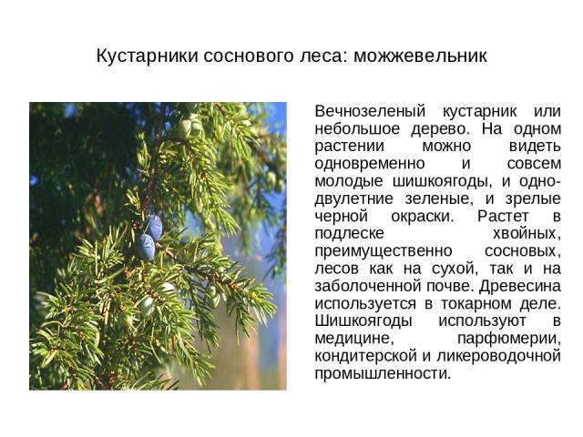 Кустарники соснового леса: можжевельник Вечнозеленый кустарник или небольшое дерево. На одном растении можно видеть одновременно и совсем молодые шишкоягоды, и одно-двулетние зеленые, и зрелые черной окраски. Растет в подлеске хвойных, преимуществен…