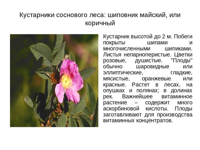 Кустарники соснового леса: шиповник майский, или коричный Кустарник высотой до 2 м. Побеги покрыты шипами и многочисленными шипиками. Листья непарноперистые. Цветки розовые, душистые.