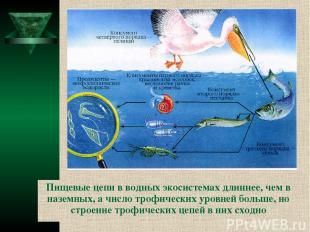 Пищевые цепи в водных экосистемах длиннее, чем в наземных, а число трофических у