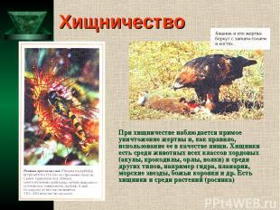 Хищничество При хищничестве наблюдается прямое уничтожение жертвы и, как правило