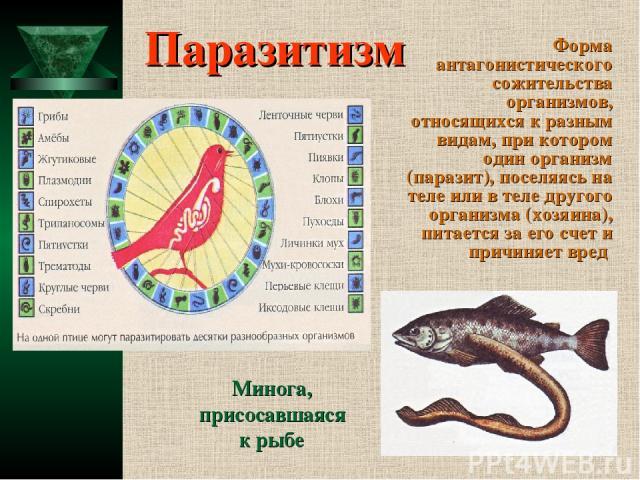 Паразитизм Форма антагонистического сожительства организмов, относящихся к разным видам, при котором один организм (паразит), поселяясь на теле или в теле другого организма (хозяина), питается за его счет и причиняет вред Минога, присосавшаяся к рыбе