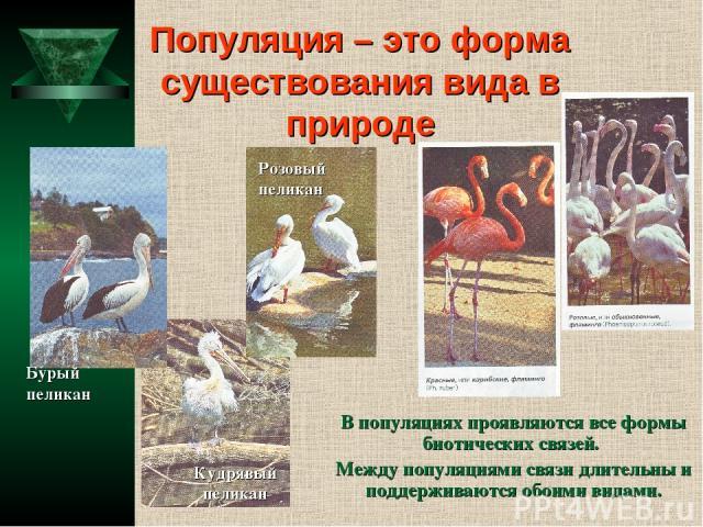 Популяция – это форма существования вида в природе В популяциях проявляются все формы биотических связей. Между популяциями связи длительны и поддерживаются обоими видами. Кудрявый пеликан Бурый пеликан Розовый пеликан
