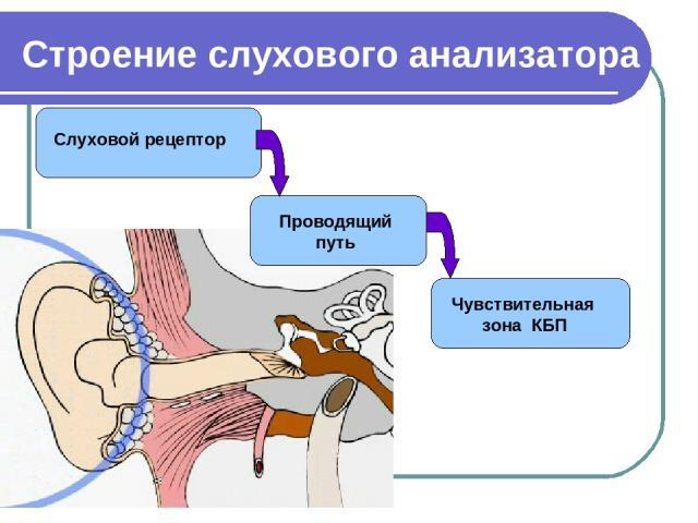 Строение слухового анализатора