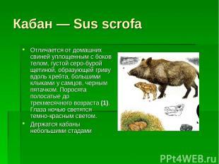 Кабан — Sus scrofa Отличается от домашних свиней уплощенным с боков телом, густо