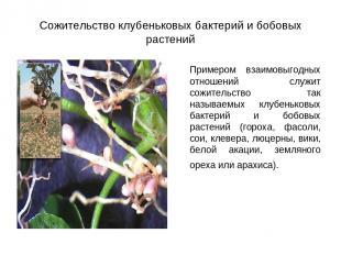 Сожительство клубеньковых бактерий и бобовых растений Примером взаимовыгодных от