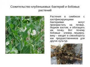 Сожительство клубеньковых бактерий и бобовых растений Растения в симбиозе с азот