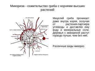 Микориза - сожительство гриба с корнями высших растений Мицелий гриба проникает