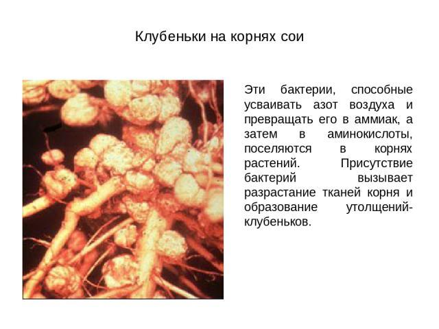 Клубеньки на корнях сои Эти бактерии, способные усваивать азот воздуха и превращать его в аммиак, а затем в аминокислоты, поселяются в корнях растений. Присутствие бактерий вызывает разрастание тканей корня и образование утолщений- клубеньков.
