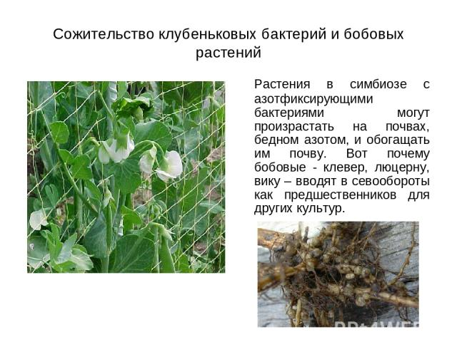 Сожительство клубеньковых бактерий и бобовых растений Растения в симбиозе с азотфиксирующими бактериями могут произрастать на почвах, бедном азотом, и обогащать им почву. Вот почему бобовые - клевер, люцерну, вику – вводят в севообороты как предшест…