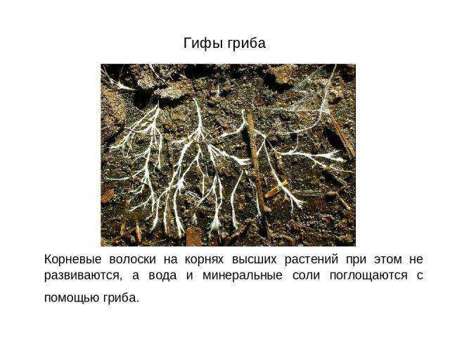 Гифы гриба Корневые волоски на корнях высших растений при этом не развиваются, а вода и минеральные соли поглощаются с помощью гриба.
