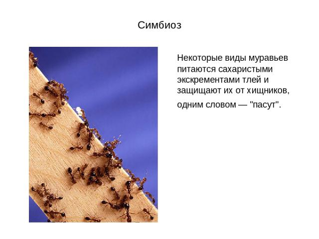 Симбиоз Некоторые виды муравьев питаются сахаристыми экскрементами тлей и защищают их от хищников, одним словом —