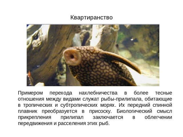 Квартиранство Примером перехода нахлебничества в более тесные отношения между видами служат рыбы-прилипала, обитающие в тропических и субтропических морях. Их передний спинной плавник преобразуется в присоску. Биологический смысл прикрепления прилип…