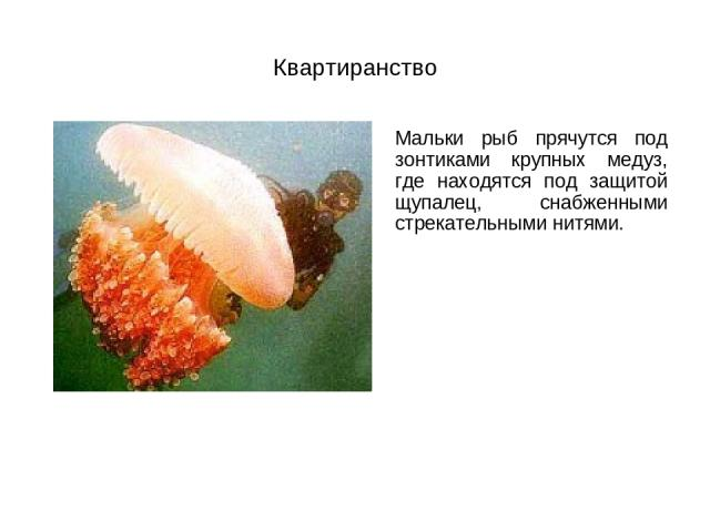 Квартиранство Мальки рыб прячутся под зонтиками крупных медуз, где находятся под защитой щупалец, снабженными стрекательными нитями.