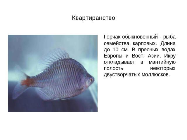 Квартиранство Горчак обыкновенный - рыба семейства карповых. Длина до 10 см. В пресных водах Европы и Вост. Азии. Икру откладывает в мантийную полость некоторых двустворчатых моллюсков.