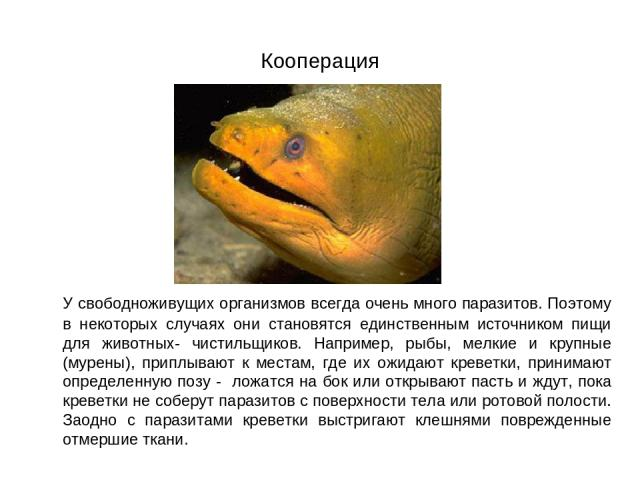 Кооперация У свободноживущих организмов всегда очень много паразитов. Поэтому в некоторых случаях они становятся единственным источником пищи для животных- чистильщиков. Например, рыбы, мелкие и крупные (мурены), приплывают к местам, где их ожидают …