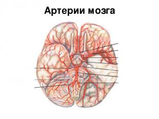 Артерии мозга