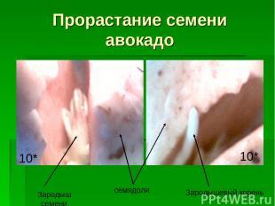Прорастание семени авокадо Зародыш семени семядоли Зародышевый корень 10* 10*