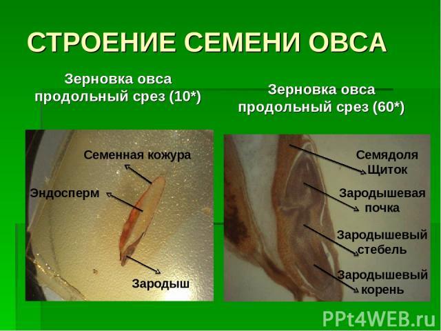 СТРОЕНИЕ СЕМЕНИ ОВСА Зерновка овса продольный срез (10*) Зерновка овса продольный срез (60*) Зародыш Эндосперм Семенная кожура Зародышевый корень Зародышевый стебель Зародышевая почка Семядоля Щиток