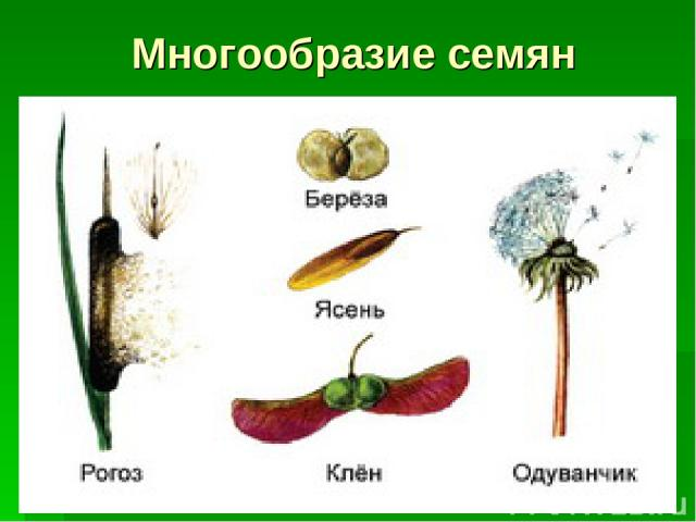 Многообразие семян