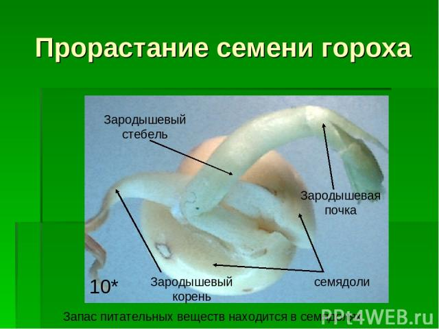 Прорастание семени гороха семядоли Зародышевый корень Зародышевый стебель Зародышевая почка 10* Запас питательных веществ находится в семядолях