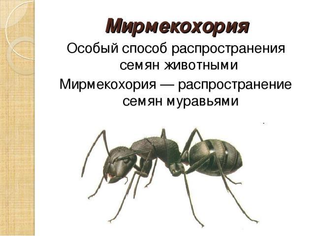 Мирмекохория Особый способ распространения семян животными Мирмекохория — распространение семян муравьями