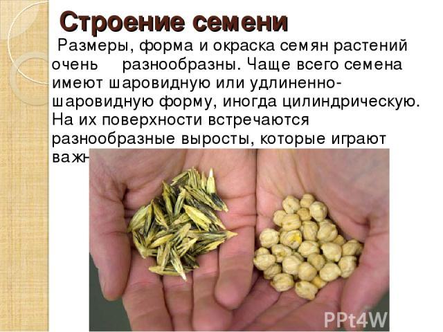 Строение семени Размеры, форма и окраска семян растений очень разнообразны. Чаще всего семена имеют шаровидную или удлиненно-шаровидную форму, иногда цилиндрическую. На их поверхности встречаются разнообразные выросты, которые играют важную роль в р…
