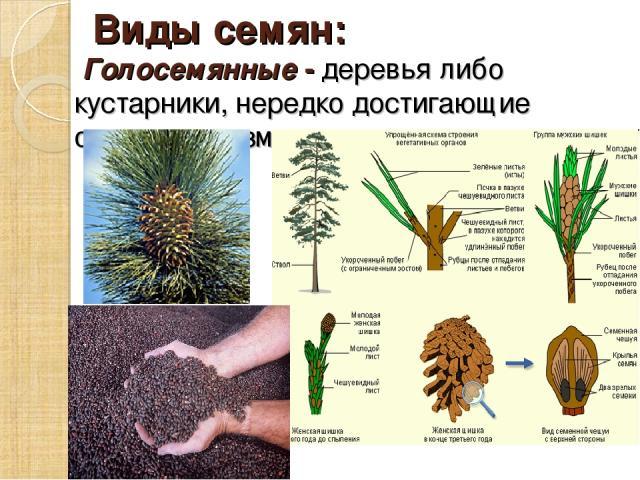 Виды семян: Голосемянные - деревья либо кустарники, нередко достигающие огромных размеров