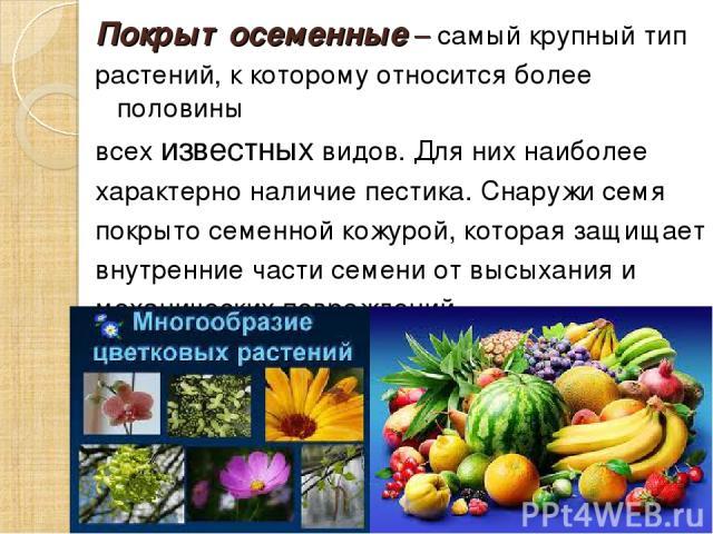 Покрытосеменные – самый крупный тип растений, к которому относится более половины всех известных видов. Для них наиболее характерно наличие пестика. Снаружи семя покрыто семенной кожурой, которая защищает внутренние части семени от высыхания и механ…