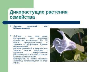 Дикорастущие растения семейства Дурман вонючий, или обыкновенный ДУРМАН - род тр